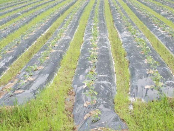 マルチシートを敷いてある黒豆畑です。土寄せの作業はありません。