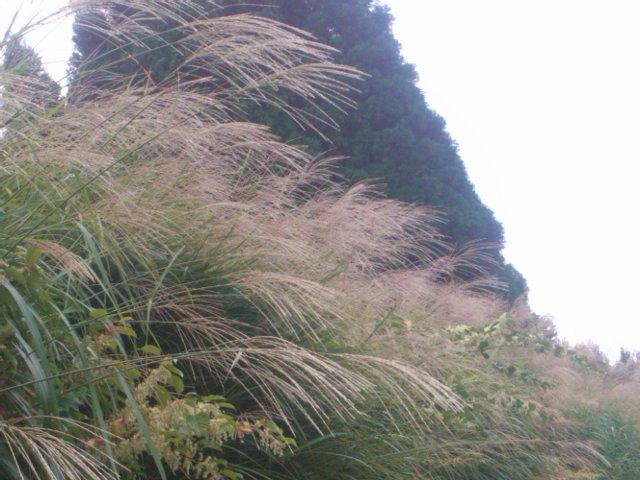 稲木のそばでススキが風に吹かれていました