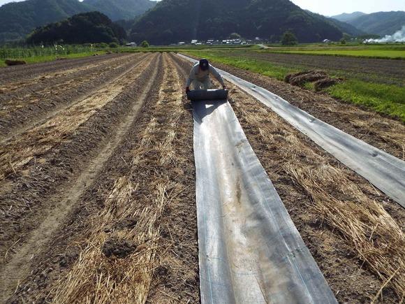 まず上面には藁、その後、畝間には防草シートを敷きます