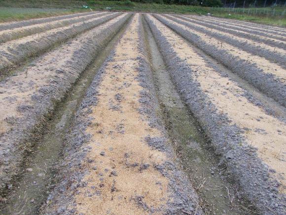 ここでは油かすを散布した後、もみ殻で覆っています。藁敷きはまだこれからです。