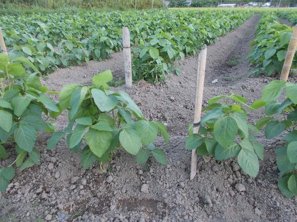 ここの黒豆畑では、倒伏防止用に竹の杭でマーカー線を張る準備をしています