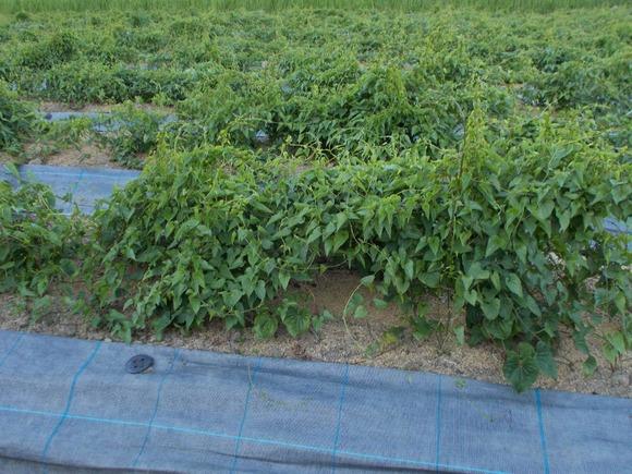 ヤマノイモ持つるが良く伸びています。「つる直し」の作業が大変です。
