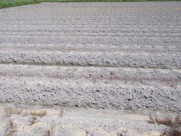 畝の真ん中、やや色の濃い部分が油かす