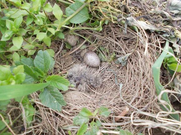 もう一つの卵も孵化はしました。サツマイモの畝です。