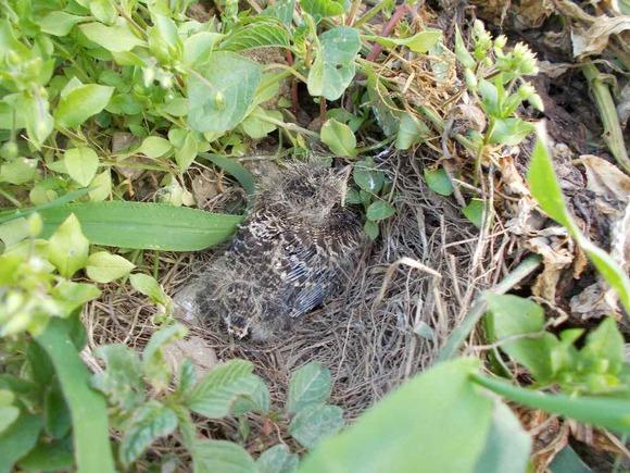 しかし孵化後数日すると一羽だけになっていました