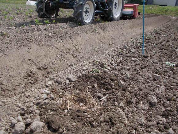 黒豆用の畑で二個産卵したものの一個だけに。畝立ての時に移し替えました
