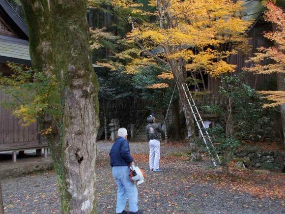高い木は揺すり落としたり、登って採ったり・・・。落ちている葉はブロワーで゛集めます