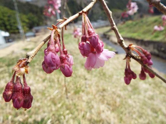 中集落の紅しだれ桜