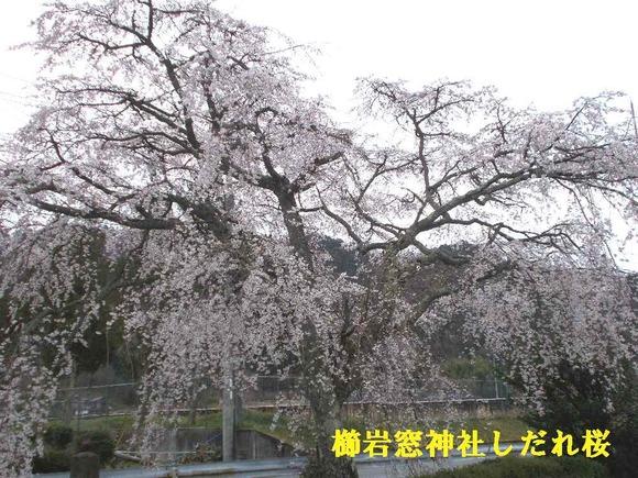 櫛岩窓神社のしだれ桜