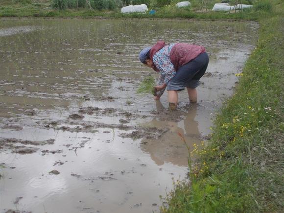 水田の周囲は友人も手伝って手植えをしました。