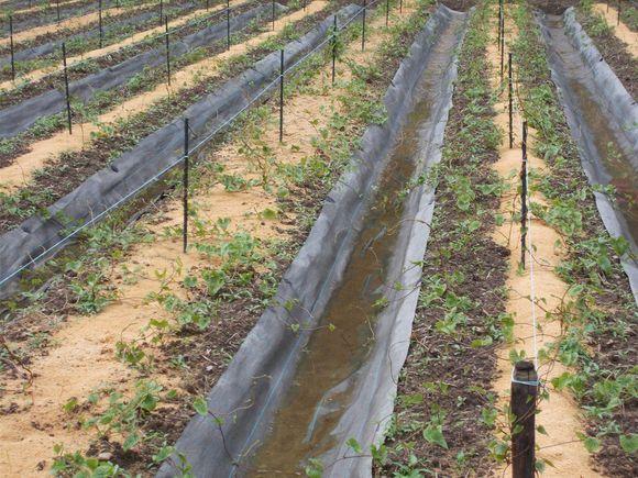 支柱は一本、畝の真ん中に籾殻を敷いてあります