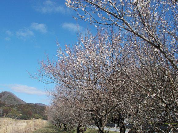 国道73号線沿いの梅並木