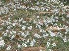 セツブンソウが咲きました