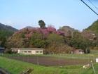 宮代−丸山公園のつつじが満開