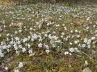 セツブンソウの花は全て散りました