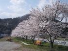 大芋の里も桜満開へ