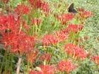 秋の大芋の野の花2