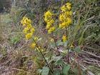 秋の大芋の野の花5−この花は?