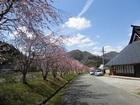 おくも中集落の桜
