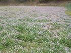 レンゲ畑は今花盛り
