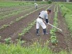 高齢者が支える黒豆栽培