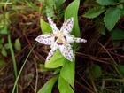 大芋の秋の花�−ホトトギス