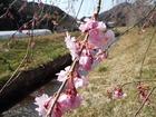 いよいよ大芋も桜の季節!