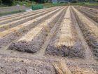 ヤマノイモの作業