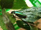 宝石か昆虫か…タマムシです