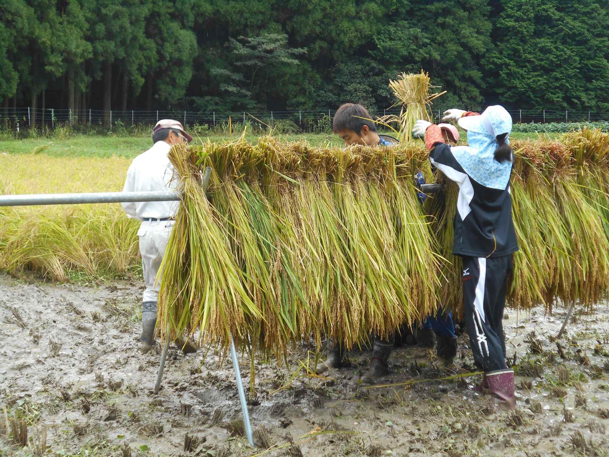 受け入れ農家さんと二人一組の稲木掛け作業