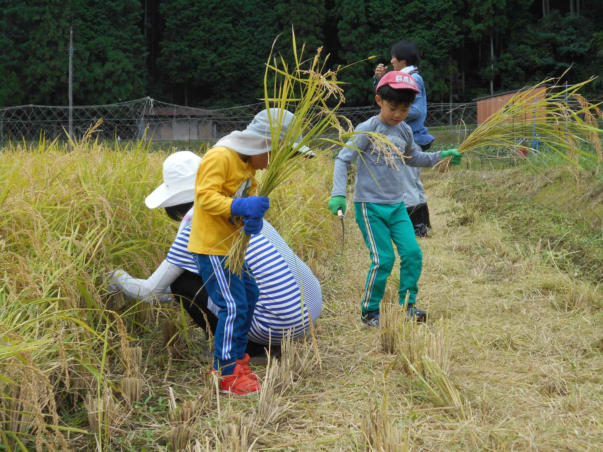 子どもたちも稲刈りです