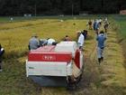 大芋で稲刈り体験