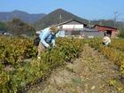 黒大豆の葉取り作業が始まっています