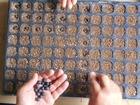 黒豆の植え付け準備その2−育苗